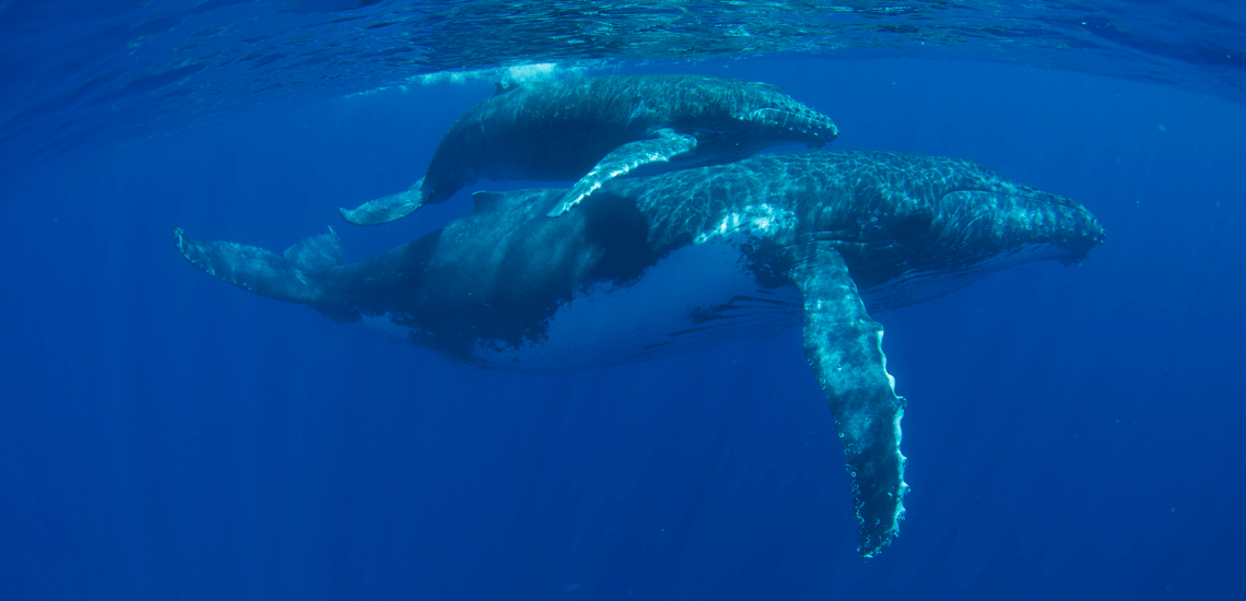 https://tahititourisme.cn/wp-content/uploads/2018/03/mooreaactivitiescenterwhaleswatching_1140x550-min.png